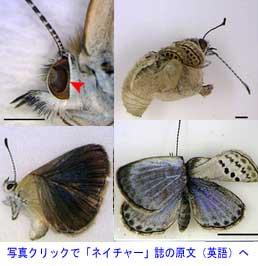 原発事故の影響で羽や目に異常が発生した蝶のヤマトシジミ