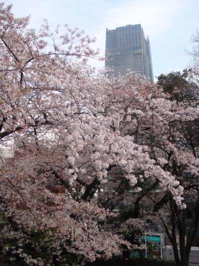 青山・満開の桜