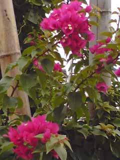 白石島・島に咲くブーゲンビリア