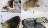 ニュース : 福島でチョウの羽や目に異常=原発事故被ばくで遺伝子に傷か
